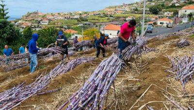 Freguesia dos Canhas:  Capital da cana-de-açúcar